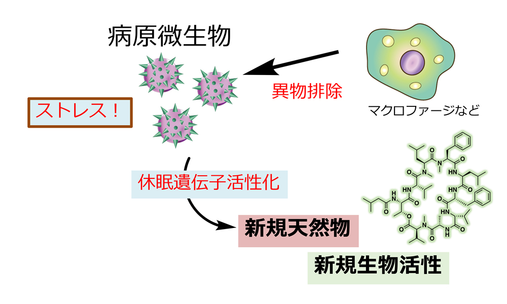 休眠遺伝子活性化と新規天然物